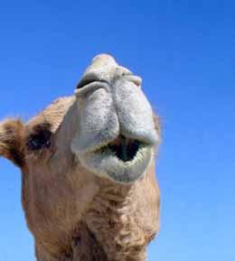 Standard Camel's Nose